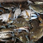 Crabs provide evidence oil tainting Gulf food web